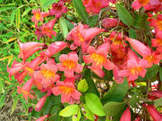 bignonia-capreolata-cross-vine-1_orig